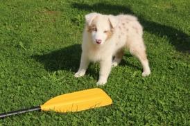 弊社のマスコットとチーフ・ハピネス・オフィサーの「ビスケット」は、子犬の頃からパドルを検証しています。